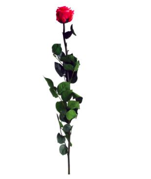 Trandafir criogenat tija 45cm Ø5cm vrac roz inchis