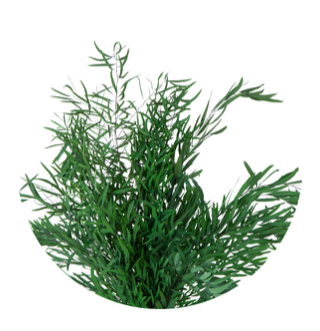 Eucalypt criogenat Nicholii