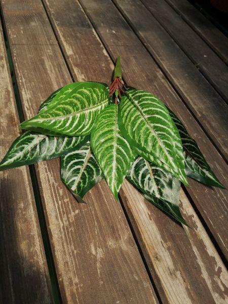 Frunze artificiale Aphelandra verzi